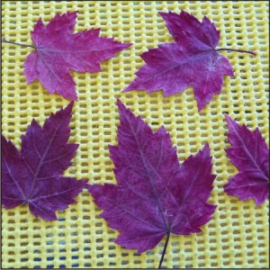 Maple leaves from my friend Pat