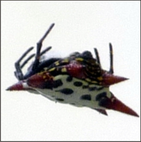 Carlotta the Spiny Orb Weaver